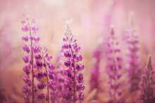 Purple Beautiful Fragrant Lupine Flowers Bloom In A Wild Field, Illuminated By Warm Sunlight. Nature.
