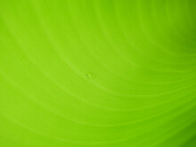 Close Up Water Drop On Green Banana Leaf Texture