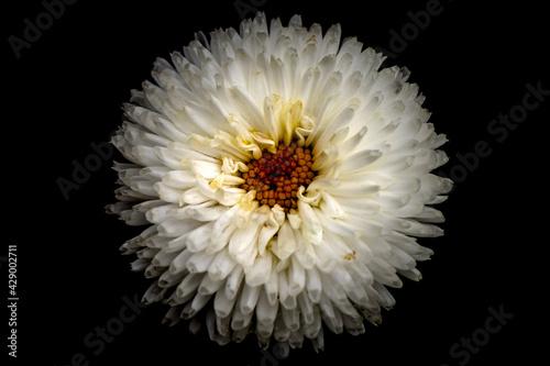 Obraz Biały kwiat na czarnym tle naturalny - fototapety do salonu