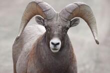 Close Up Of A Bighorn Sheep - Ram