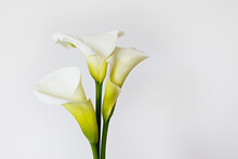 Minimalistic Studio Shot Of Calla Lily Inflorescence On Isolated Background With A Lot Of Copy Space For Text. Universal Multi Occasional Flowers For Both Celebration And Grief. Flat Lay, Top View.