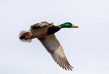 Male Of Duck Flying Over The Pond. Wild Bird Mallard (Anas Platyrhynchos) In Countryside. Czech Republic, Europe Wildlife