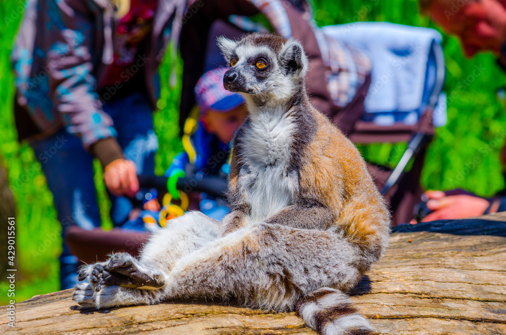 Fotografie, Obraz tourist are passing by ring-tailed lemur (lemur catta) in an open enclosure in t