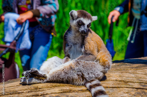 tourist are passing by ring-tailed lemur (lemur catta) in an open enclosure in t Wallpaper Mural