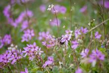 Erodium Cicutarium Field With Bumblebee. A Weedy Field Plant.