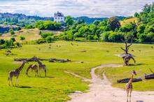A Group Of Giraffes, Outdoor Zoo, Prague