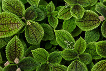 Natural Green Background Of Flower Leaves