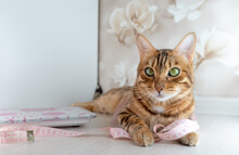 Bengal Cat With Measure Tape. Pet At Home, Looking To Camera With A Pink Centimeter Around His Neck.