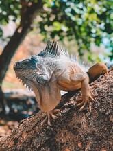 Island Land Iguana Caribbean Lizard Reptile Animal Dragon Nature Zoo Tropical Wild