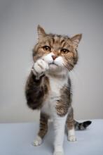 Studio Shot Of A Cute Tabby White Cat Raising Paw Reaching For Camera