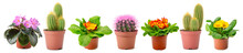 Panoramic Collection Of Multicolored Fresh Violets And Cactus Isolated On White