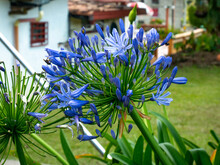 Blue Or African Lily Or Lily Of The Nile (Agapanthus Praecox), A Blue Flower In The Garden Surrounded Of Few Insects