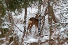 Deer In The Snow. Deer In Winter