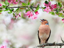 A Finch Bird Sings In A Blooming Spring Garden On A Branch Of A Pink Apple Tree