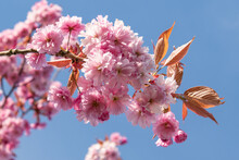 Pink Cherry Blossoms On Blue Sky Background