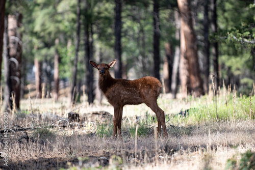 Bambi. Nature animals concept. White-tailed Deer Fawn. Roe, capreolus. Beautiful wildlife buck.
