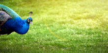 Beautiful Grass Background For Copy Space With Peacock