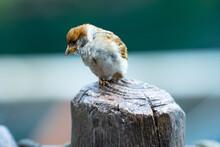 Closeup Of Eurasian Tree Sparrow (Passer Montanus) Sitting On A Trunk