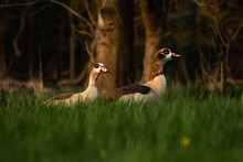 Beautiful Shot Of Egyptian Geese (Alopochen Aegyptiaca) Standing On The Grass