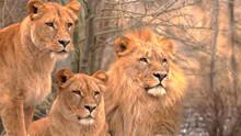 Lion And Lionesses Hunt Down Prey