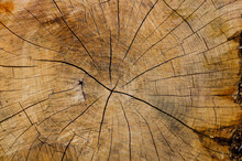 A Saw Cut Of An Ancient Tree, Yellow, Brown And Beige, On Which Century-old Rings Are Visible.