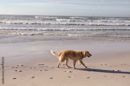 View of golden retriever pet dog walking on the beach