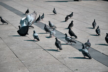 Groups Of Doves And Pigeons On Concrete Ground. Flying And Landing In Kadikoy Shore.