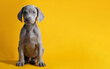 Leinwandbild Motiv Cute Weimaraner puppy isolated on a yellow background