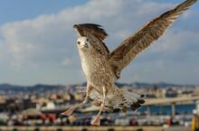Curious Seagull Flies In Close