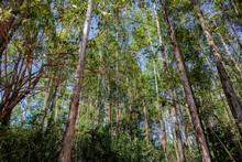 Floresta Com Vista Debaixo Pra Cima Das árvores Mostrando A Imensidão De Cada Uma Delas.