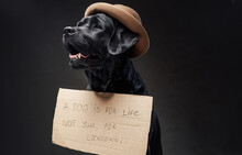 Lovely Retriever With A Cartoon Sign Wearing A Hat In Dark Background