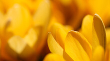 Abstract Floral Background, Yellow Crocus Flowers. Macro Flowers Backdrop For Holiday Brand Design.