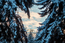 Beautiful View Of The Snow-covered Spruce Trees In The Forest