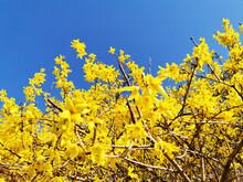 Closeup Shot Of Yellow Forsythia Flowers