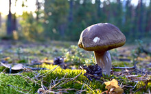 Porcini Cep White Mushroom King (Boletus Pinophilus) Mycelium Grow In Moss In A Forest. Big Bolete Mushrooms In Wildlife In Of Sunbeams.