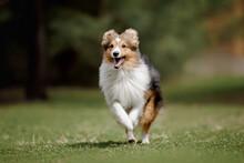 Dog-Running Shetland Sheepdog. Dog Action.