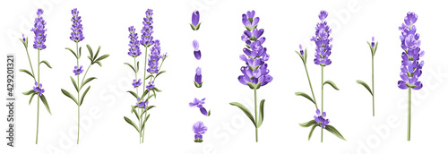 Wallpaper Mural Set of differents lavender branches on white background.