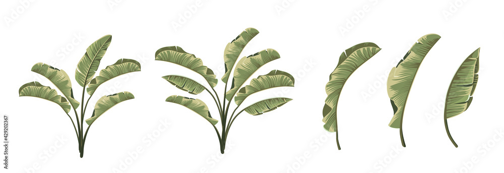 Fototapeta Set of differents banana leaves on white background.