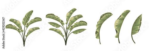 Fototapeta Set of differents banana leaves on white background.