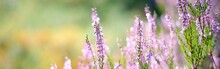 Picturesque Scenery Of The Evergreen Woodland In A Fog At Sunrise, Forest Floor Of Blooming Pink And Purple Heather Flowers Close-up. Idyllic Autumn Scene. Pure Nature, Environment. Panoramic Image