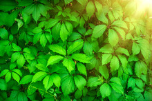 Background Of A Wall Of Green Leaves Around A Gazebo In The Park