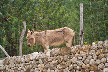 Donkey Behind Fence And Stone Wall In Summer