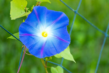 Blue Color Morning Glory Flower Climb On Fenbce Background