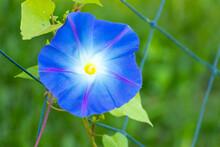Blue Color Morning Glory Flower Climb On Fenbce Background