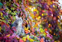 Cute Cat Sit In The Autumn Sunny Garden Among The Colorful Leaves Of A Bright Plant Grapes