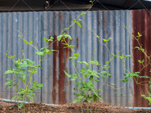 Close Up Of Organic Asparagus Bean Plant, Yardlong Or Chinese Long Bean On House Fence,isolated Rustic Galvanized Sheet. Concept Of Agriculture At Home, Organic Farm, Healthy Vegetable Food.