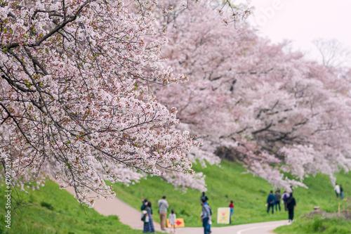 Fototapeta 京都【淀川河川公園背割堤地区の桜】 obraz