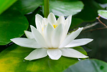 White Water Lily With Yellow Center And Green Leaves Closeup In The Pond