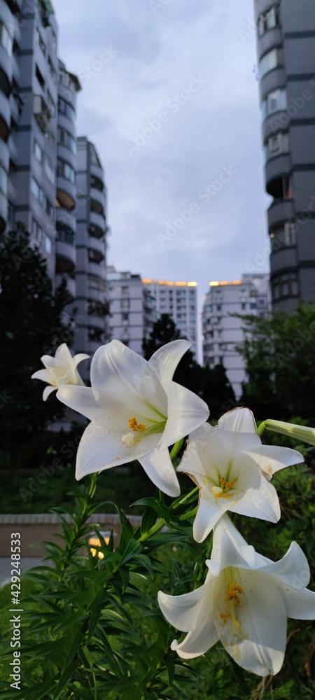 Fotografie, Obraz Oriental lilies, lily flower border in an garden, Taiwan