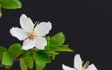 Kwiat Wiśni w rozkwicie, na czarnym tle